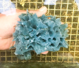 Ultra Blue rare live sea sponge specimen