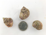 Chestnut snails for sale. But Chestnut snails at the best prices and quality on line.