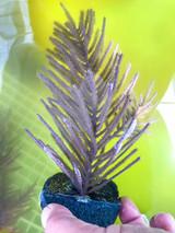 Purple Brush Gorgonian Specimens for sale. Live gorgonians