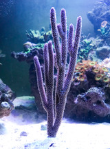Purple Tree Gorgonian Coral for sale.