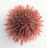Purple Rose Pincushion urchin for sale.