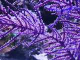 Purple Frilly Lace Polyp extension showing feeding response from soft corals while eating plankton.