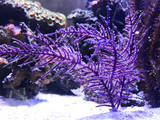 Purple Frilly Lace Gorgonian Feeding on Oyster Egg Feast and coral Extacy liquid hatching food.