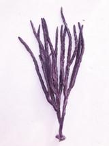 Extra Lrg 12in. Specimen Purple flat blade ribbon gorgonian