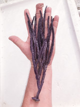 XL  12 in. Purple Gorgonian for sale. Non photosynthetic soft corals.