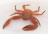 Algae eater red porcelain crabs are a great part of the clean up crew for saltwater aquariums.
