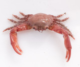 Ruby Crab for sale. Buy Ruby crabs to control nuisance algae and left over food in the saltwater aquarium