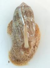 Olive Snail for saltwater aquariums for sale