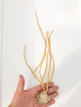 Yellow Sea Whips for saltwater aquariums.