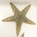 Sand sifting Starfish sea star for sale.