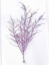 Purple Frilly Gorgonian Soft Coral umbo size for sale.
