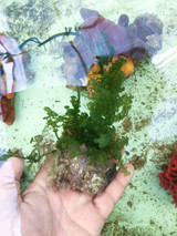 Small Grape Macro Plant Rock