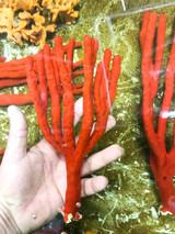 Large branchy growth red tree sponge rare specimen find.