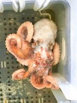 Get live reef Octopus for marine reef tanks and display aquariums.