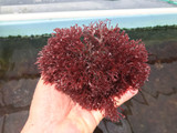 Hayi Algae Pom Pom Macro Algae. Whole saltwater plants for sale.