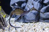 Leafy Sea dragon Seahorse eating Copepods Amphipods and Mysid. Buy Copepods at Rusalty and Save with free shipping