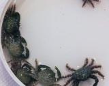 Emerald Crabs