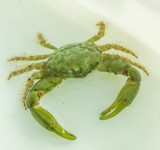 Buy Emerald crabs for sale at the best prices on line and save with free shipping.