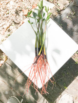 Mangroves with prop roots for sale