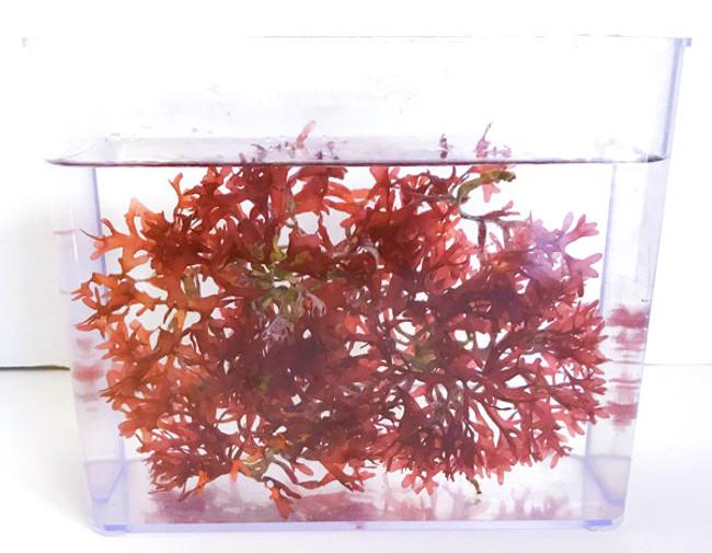 Hayi Macro Marine Macro Algae Plants Seahorse habitat Grow Culture Buy Copepods Amphipods for sale live saltwater aquarium plants