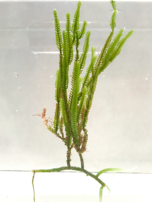 Cactus Tree Macro Algae Macro Algae for Reef Tank Aquarium Saltwater Plants for Sale