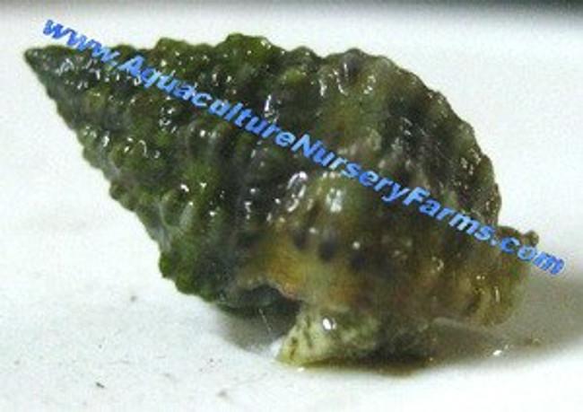 Nassarius Snails for Sale. Buy saltwater snails clean up crew for sale.