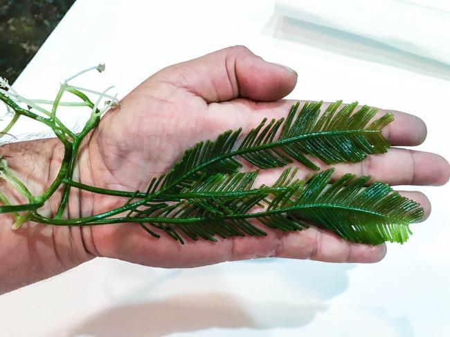 Jumbo Fern Feather Macro Algae for Sale. Habitat for Seahorses and Amphipods.
