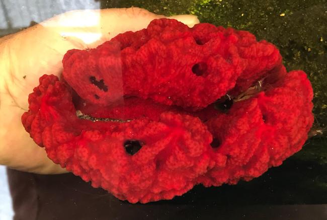 Sea Sponge for sale.Fire engine red Sponge . Saltwater macro algae and amphipod habitat. Coral reef tank aquarium.