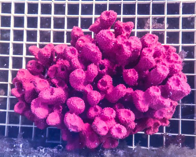 Rare Strawberry Tube Sponge or purple sea sponge for sale. Buy live sponges for saltwater aquarium tank.