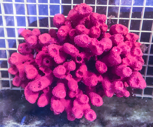Purple Tube sponge for sale. Live sea sponges at the best prices on line. Rare strawberry sponge.