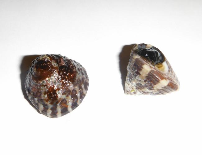 Trocus snail