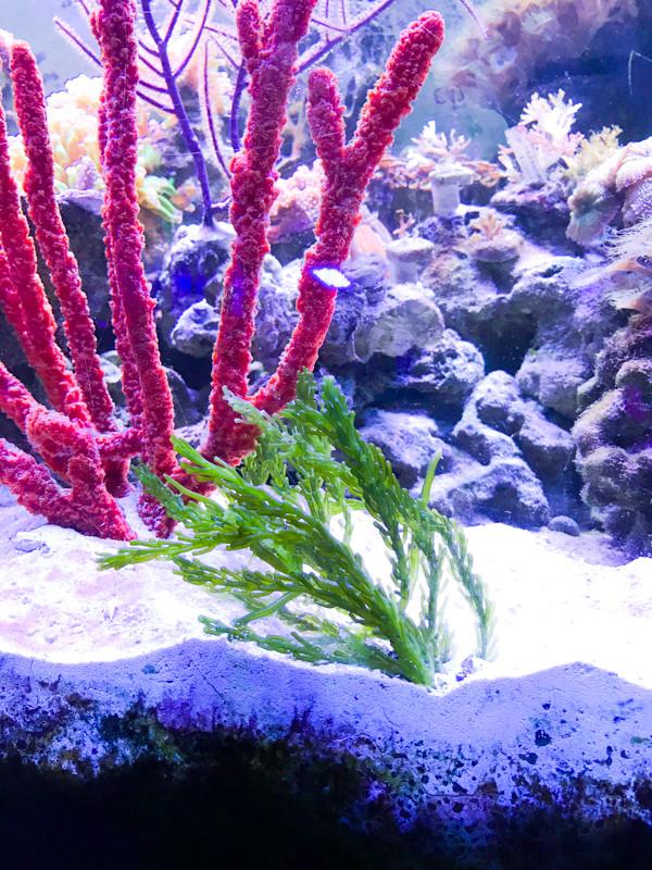 Seahorse Tank Caulerpa Macroalgae Saltwater Plant Reef Tank Aquarium Live Fish Food
