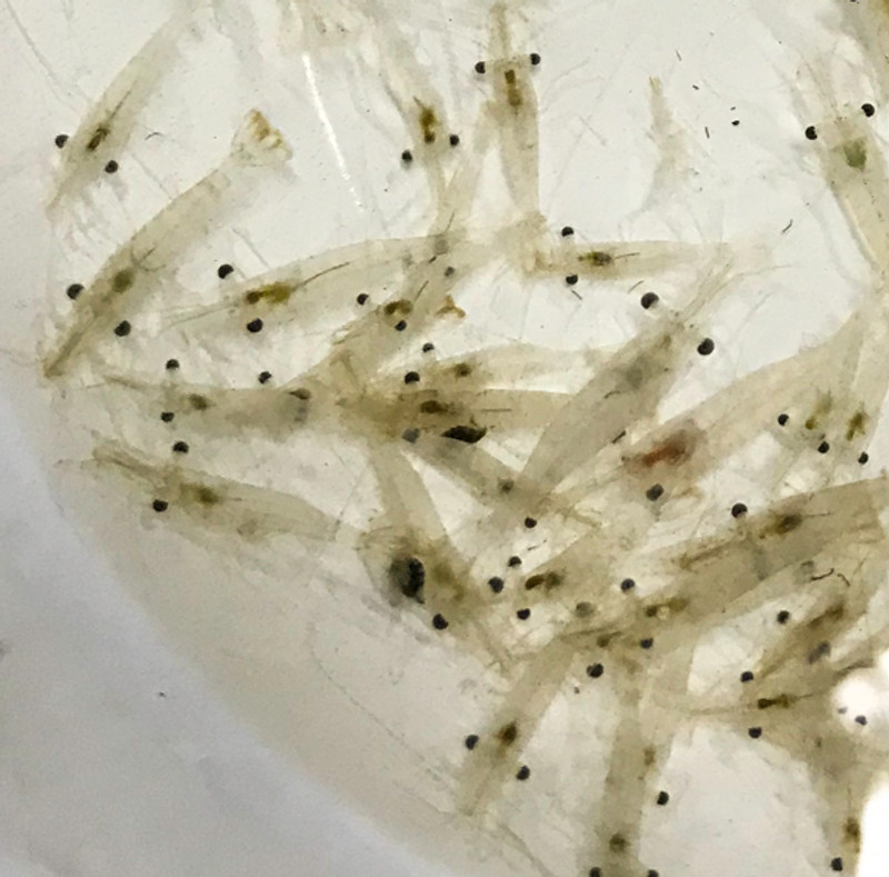 Buy Saltwater Feeder Shrimp For Sale. Cleaner shrimp. Grass shrimp for sale.