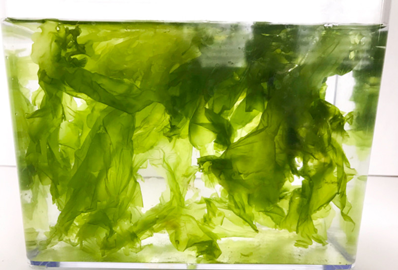Best Macro Algae for Saltwater Aquarium reef Tank. Sea Lettuce is home for growing Amphipods and Copepods