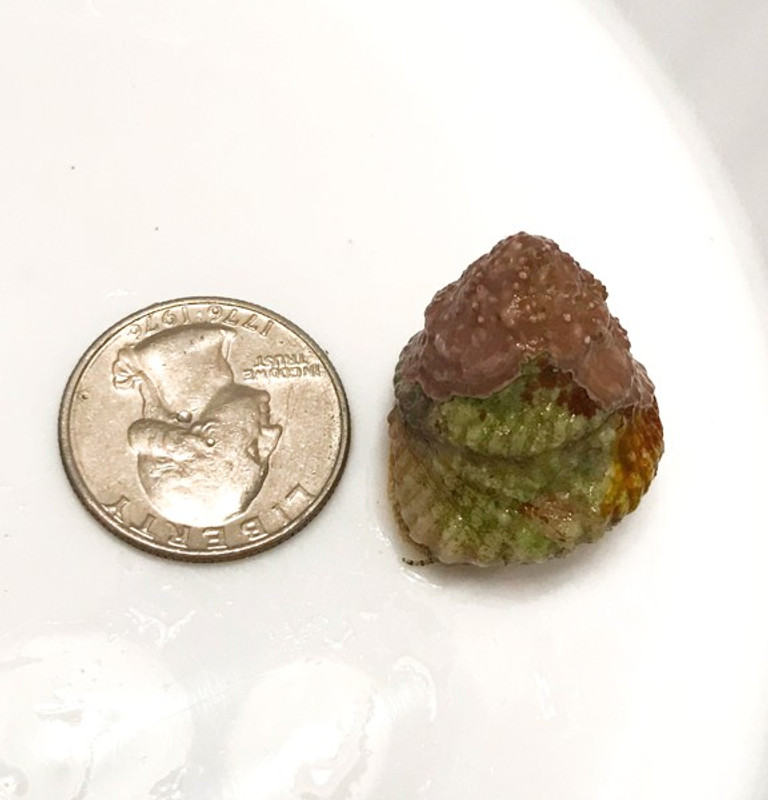 Astrea snails extra large size reference. Astrea snails for sale. buy saltwater cleanu up crew.
