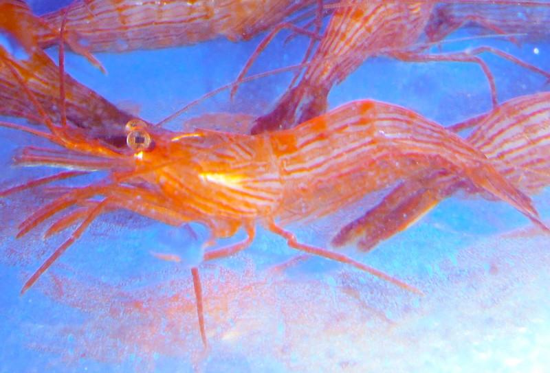 Peppermint Shrimp Wurdana. Live Saltwater shrimp for sale. Reef tank aquarium fish and corals.