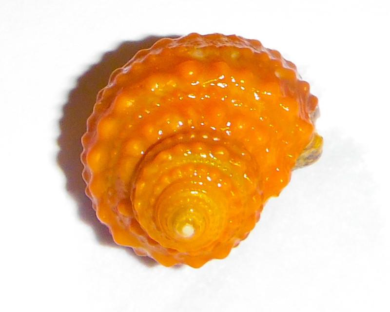 Orange Chestnut snail
