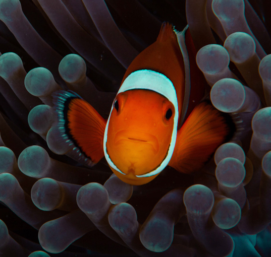 clownfish-eat-copepods.jpg