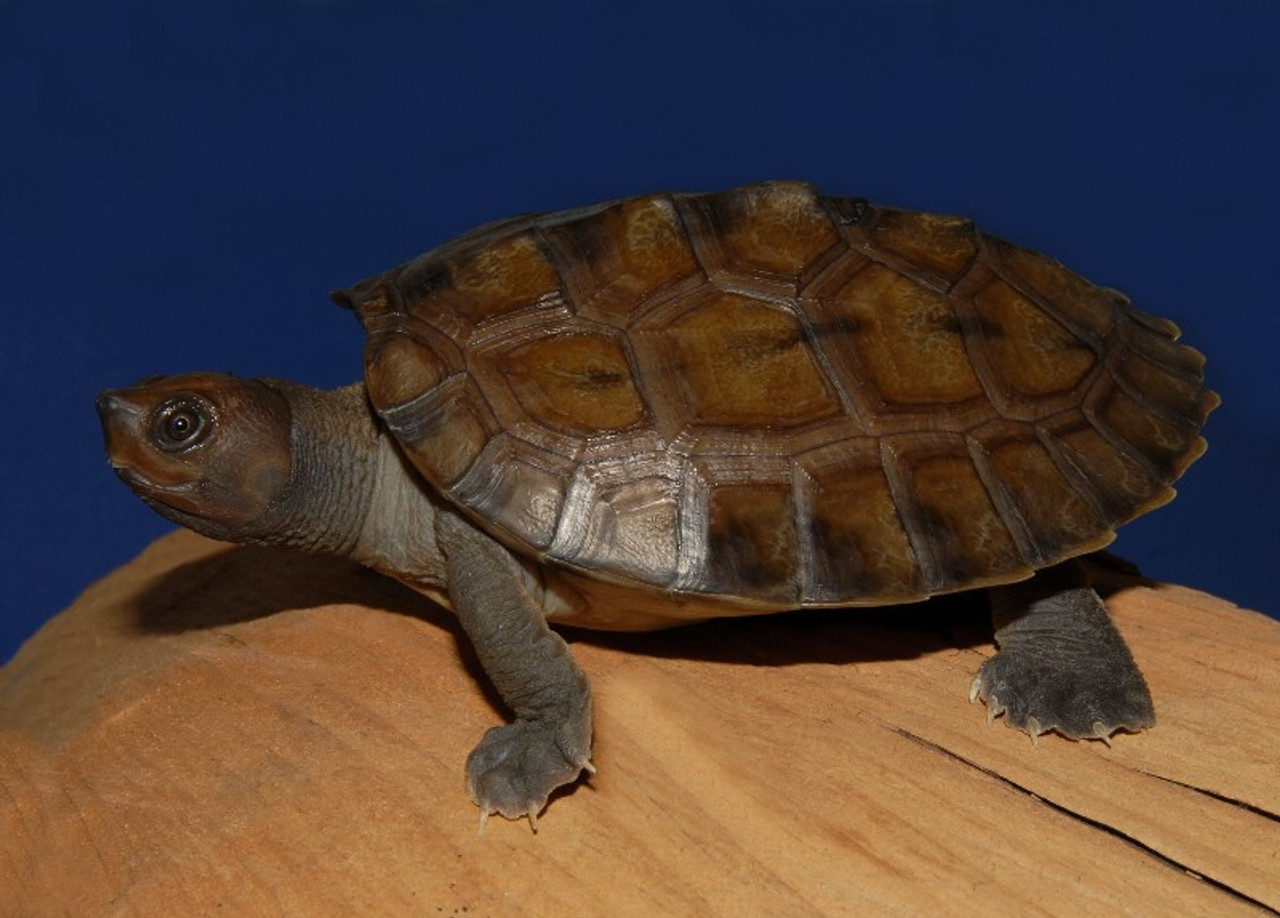 Painted River Terrapins