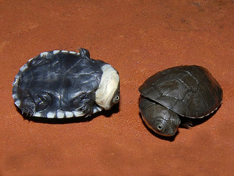 African Helmeted Turtles for sale