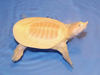 Albino Chinese Softshelled Turtles for sale