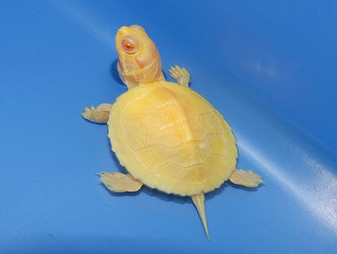 Albino Red Eared Sliders for sale