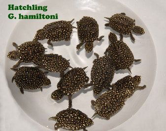 Black Spotted Pond Turtles for sale