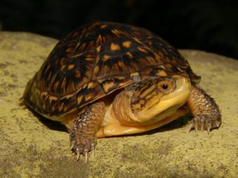 Blanding's Turtles for sale