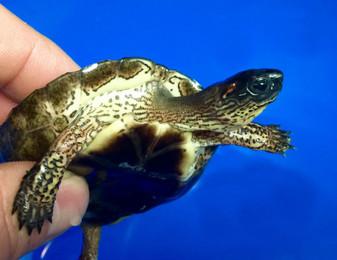 Black Wood turtle hatchlings for Sale