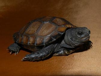 Burmese Black Mountain Tortoises for sale