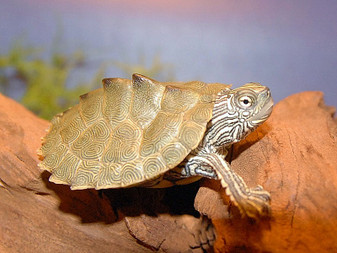 Cagle's Map Turtles for sale