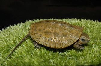 Caspian Pond Turtles for sale