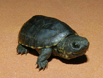 Chiapas Giant Musk Turtles for sale