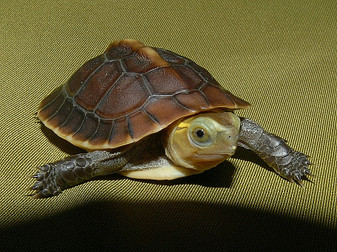 Best Chinese Golden Box Turtles Fron The Turtle Source
